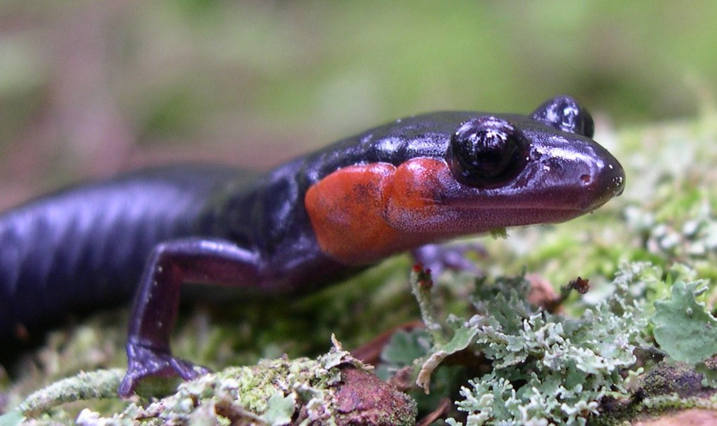 Red-cheeked_Salamander