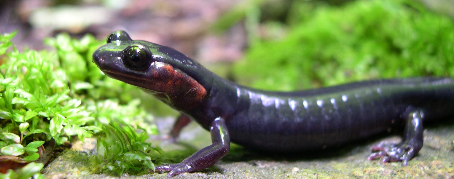 Red-cheeked_Salamander_2