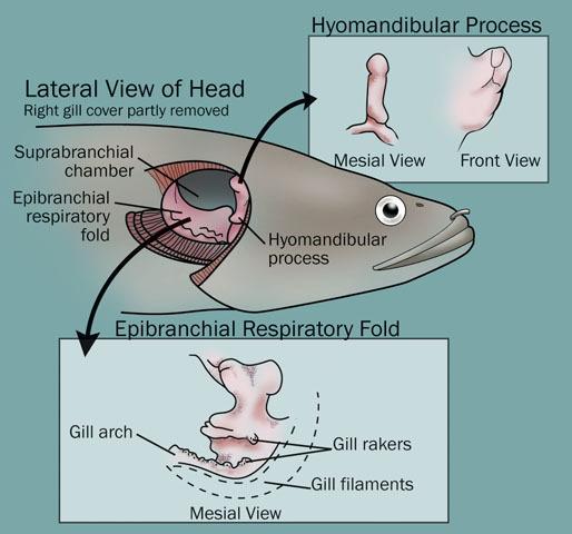 ADW: Actinopterygii: SPECIMENS