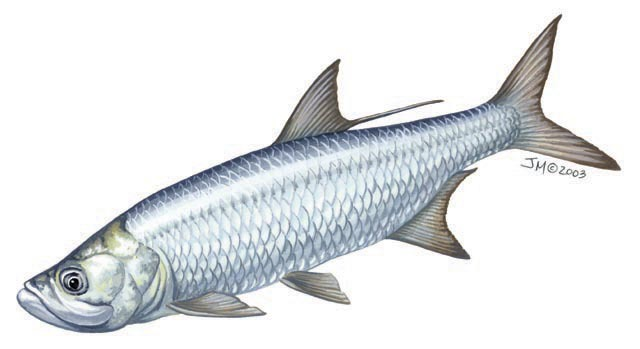 megalops_atlanticus