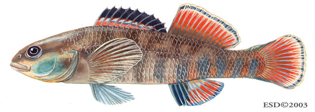 Etheostoma