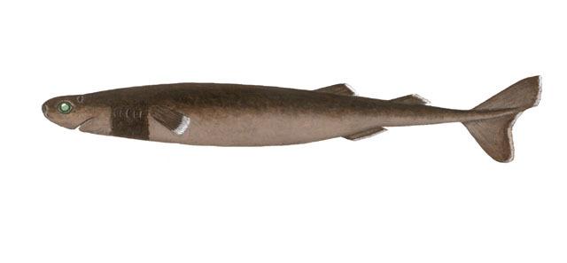 Cookie cutter shark glowing