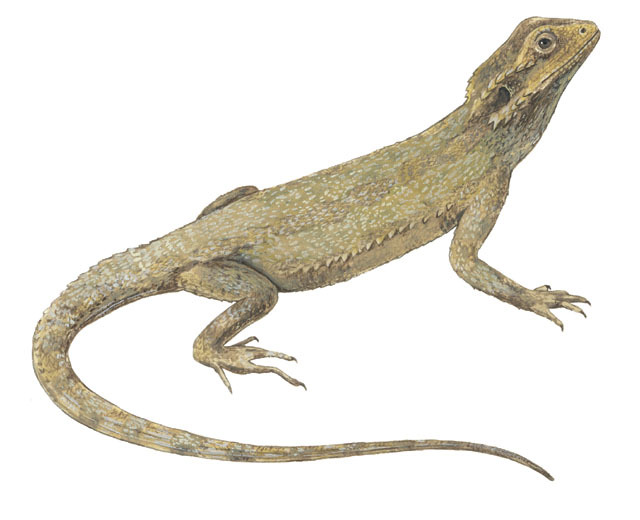 Pogona_minor