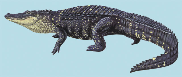 Alligator_missippiensis
