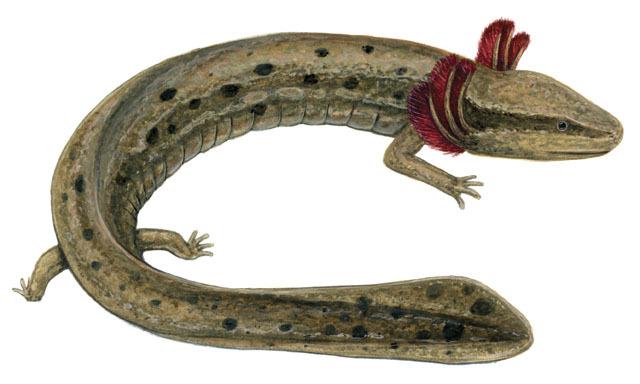 ADW: Necturus maculosus: INFORMATION