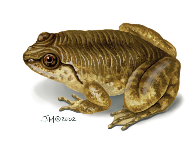 Nyctibatrachidae