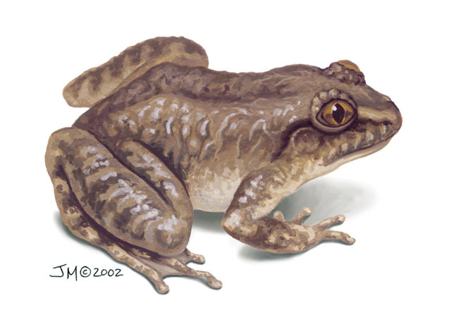 Nyctibatrachus_major