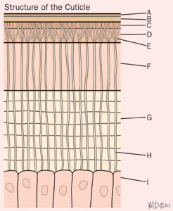 cuticle_structure