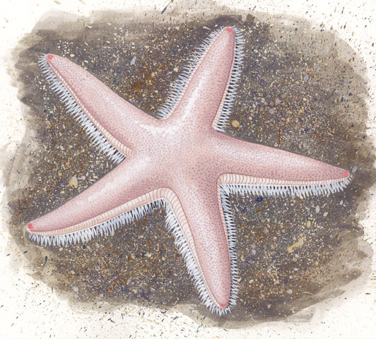 Astropecten_irregularis