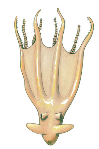 Stauroteuthis_syrtensis
