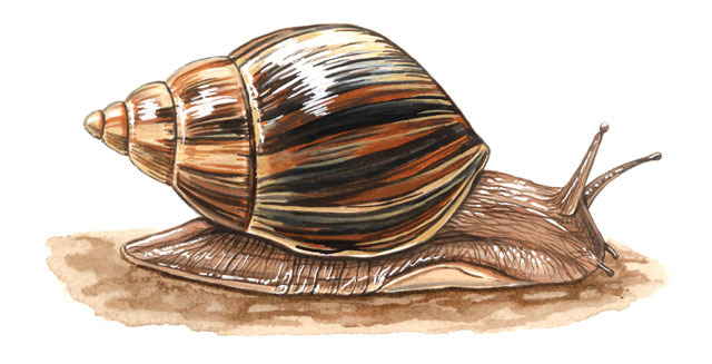 Photo of Achatina fulica