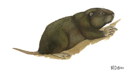 Cratogeomys_neglectus