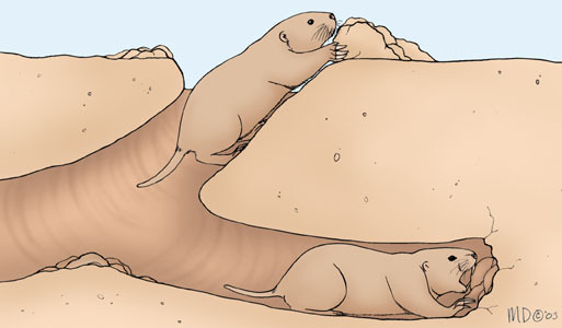 pocket_gopher_burrowing