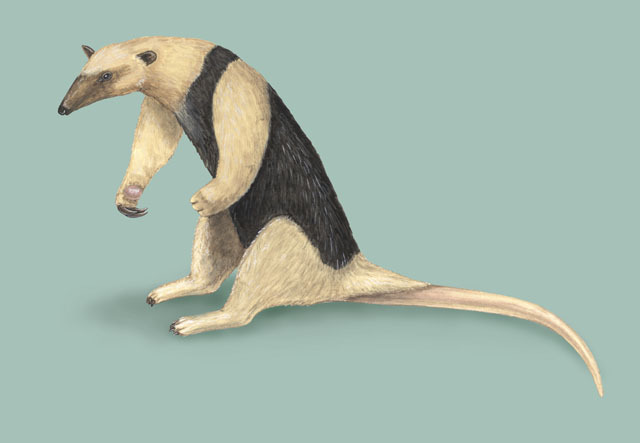 Photo of Tamandua tetradactyla