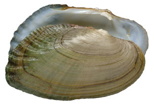 fluted_shell_bs