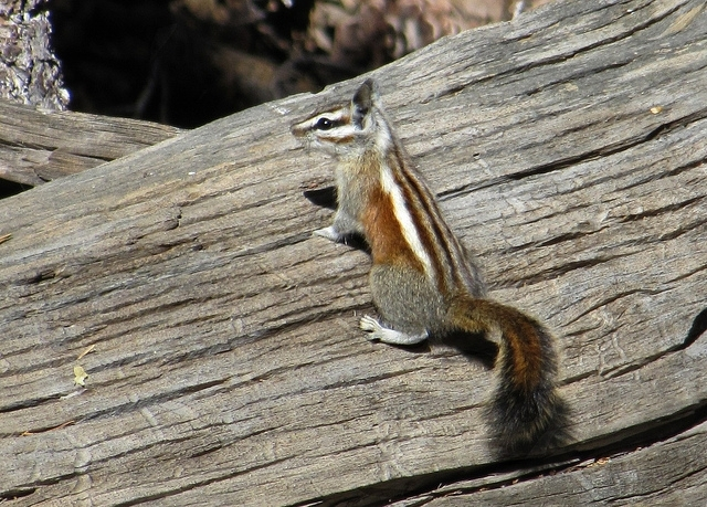 merriams_chipmunk