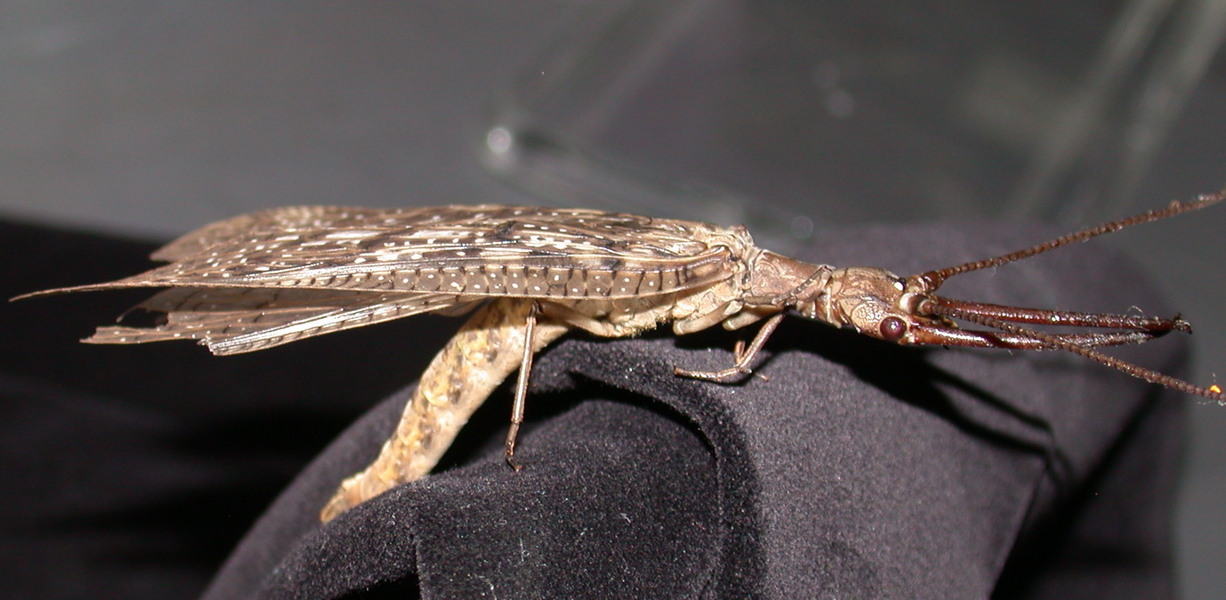 dobsonfly1