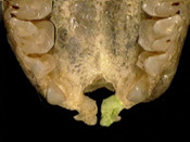 rhinopoma_palatal_th