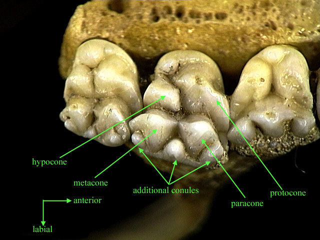 Adw The Diversity Of Cheek Teeth