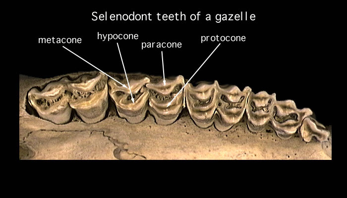 ADW: The Diversity of Cheek Teeth
