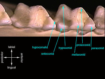 tribosphenic_molar_lower