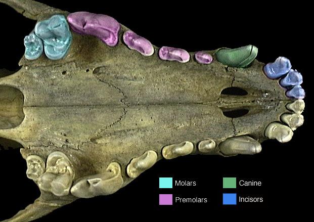 dentilian in mammals