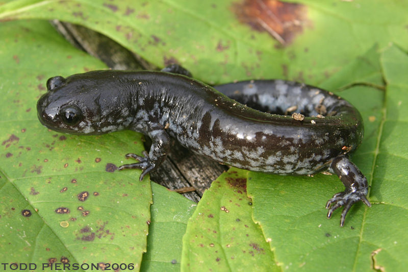 Ambystoma texanum