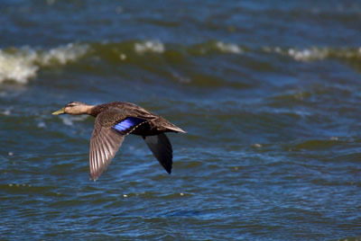 Amblackduck_flight