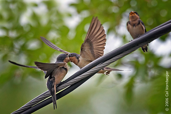 barnswallow3_feedfledge