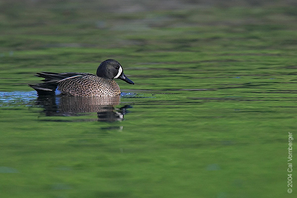 bluewingedteal2