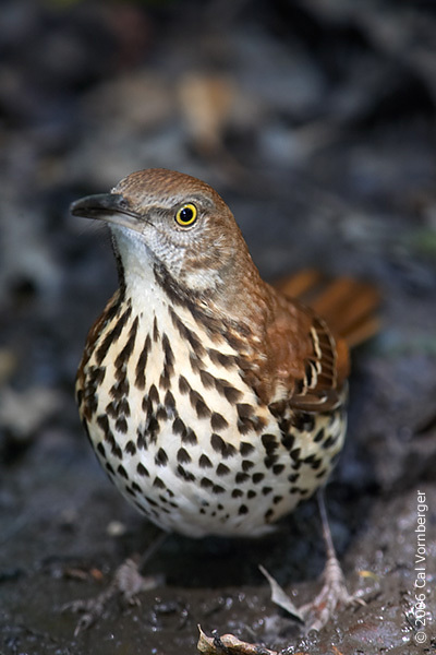 brownthrasher2
