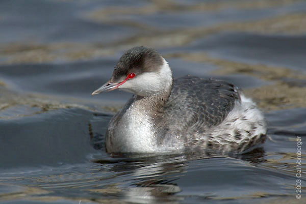 hornedgrebe_winter