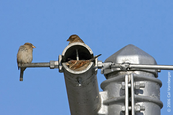 housesparrows12