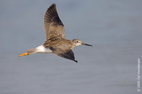 lesseryellowlegs