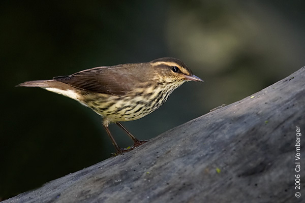 northwaterthrush2