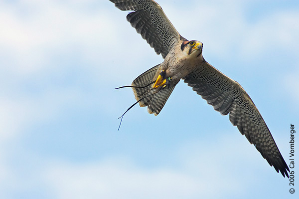 peregrine_flight