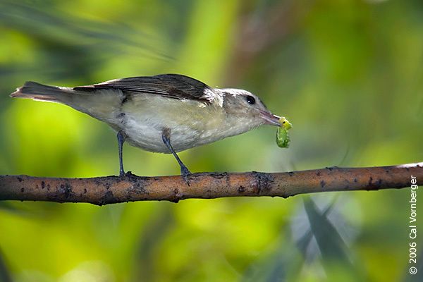 warblingvireo2_insect