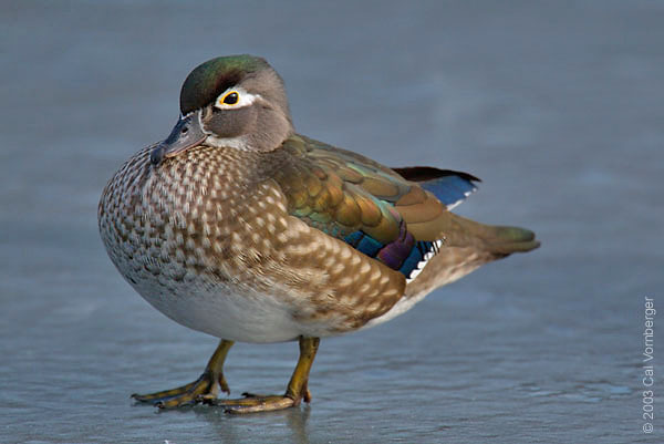 woodduckfem