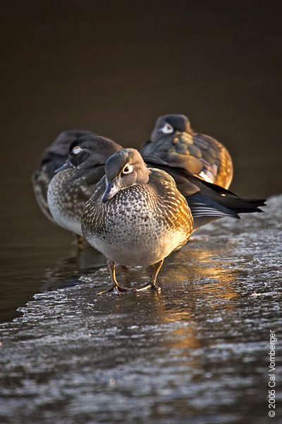 woodducks_females