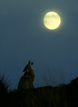 coyote_howling