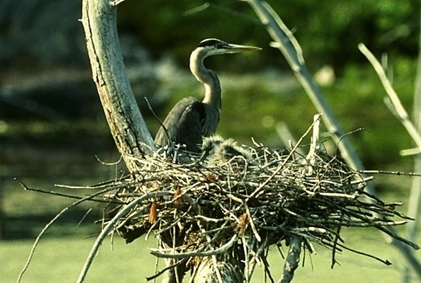 great_blue_heron_nest