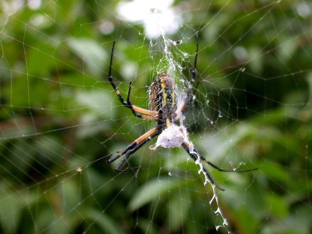 Photo of Argiope aurantia