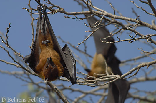12971926.FlyingFoxes