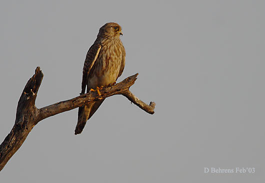 12972164.CommonKestrel