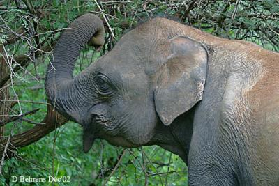 9579798.AsianElephant