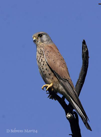CommonKestrel