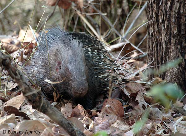 IndianPorcupine