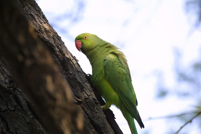 Rose_ringed_Parakeet