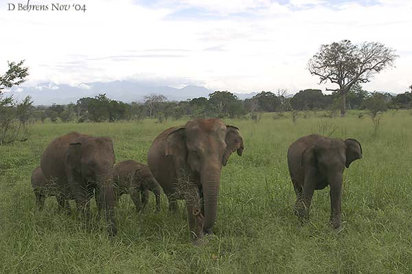 UdawalaweElephants