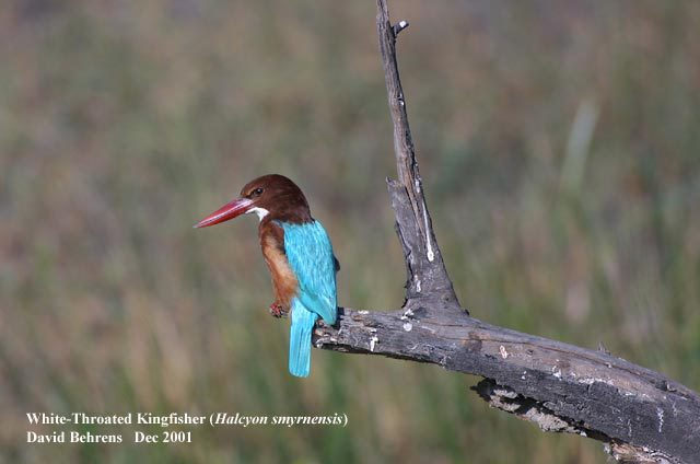 White_throated_Kingfisher
